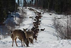 Deer along a snow mobile trail in Ontario, Canada