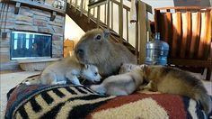 Capibara plays with puppies