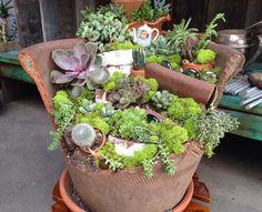 Broken pots with succulents