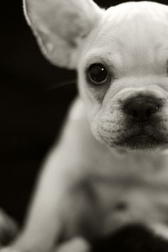 french bulldog. I will have one some day