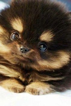 pomeranian husky mix so adorable!!!