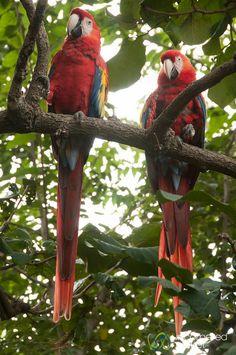 Aves de Nicaragua.