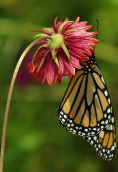 ~~Monarch by Angelina Deans~~