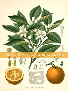 Free vintage botanical downloads! #printables