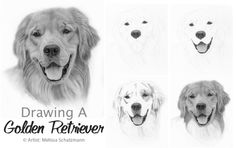 Drawing Lesson -How to Draw A Golden Retriever