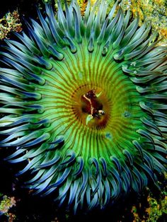 sea anemone -- makes me think sunflower - amazing details sea creatures, seas, color, seaanemon, natur, beauti, ocean, sea anemon, anemones