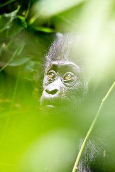 Gorilla by Jonathan Tolleneer  (Location: Uganda)