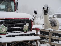 "Our sweet ""Dolly Llama""...always watching over the farm~"