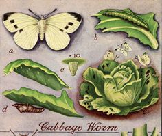 A Tisket A Tasket: Cabbage Worms and Moths?
