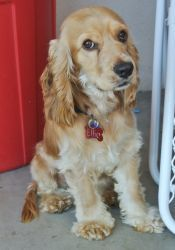 Beautiful golden cocker spaniel up for adoption!  Her name is Ellie...  :)  Someone looking to have a snuggle buddy?