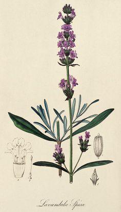 Lavender|Lavandula angustifolia