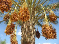 tree, dates