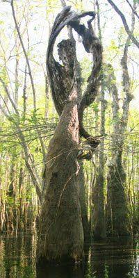 Cypress Tree Angel.