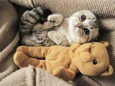 Cute kitten is the same size as her teddy bear.