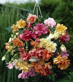 Pastel Begonia Basket
