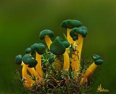 **Leotia viscosa / Léotie visqueuse by Gilles Fortin, via Flickr