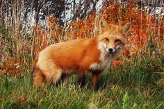 Fall Fox from Photos - The Weather Network
