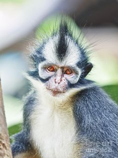 Thomas's Langur (Presbytis thomasi) is a species of primate in the Cercopithecidae family. It is endemic to Indonesia. Its natural habitat is subtropical or tropical dry forests. It is threatened by habitat loss.