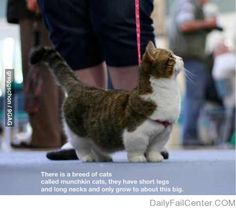 Munchkin cats. Need. Obsessed