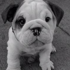 Another bulldog. They're adorable as puppies!