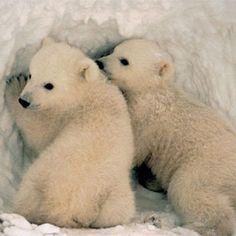 Resultados de la Búsqueda de imágenes de Google de http://www.scientificamerican.com/media/inline/polar-bear-prompts-climate-change-action_1.jpg
