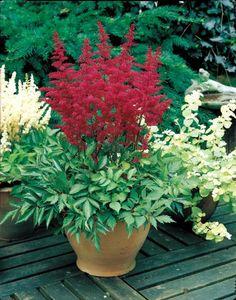 Astilbe Red - Easy Care Perennial