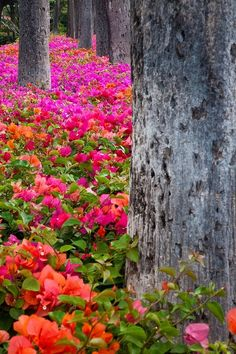 colorful flowers, forests, bougainvillea, maui, wedding colors, orange flowers, amazing nature, place, flowers garden