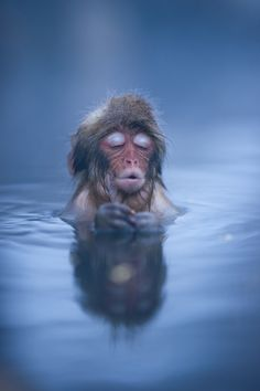 First Winter: A Japanese Snow Monkey settles in to a hot spring bath at Jigokudani, Nagano, Japan...