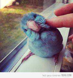 anim, real life, little birds, pet, parrot, bird of paradise, baby blues, friend, spot