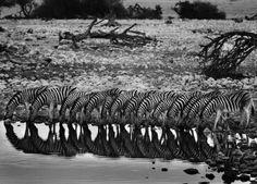 Sebastião Salgado: Mountain Zebras, Hoanib River Valley, Damaraland, Namibia, 2005