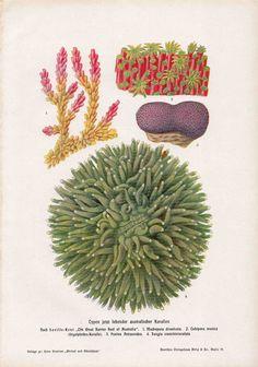1900 coral original antique sea life print.