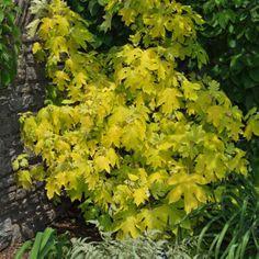 Hydrangea quercifolia 'Little Honey' ('Little Honey' oakleaf hydrangea) - Fine Gardening Plant Guide