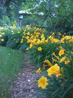 Border of Yellow Daylilies. Maybe something like this for the front flowerbeds? We have a border of ligustrum (I think) between the beds and the porch that would be a nice backdrop.  The front gets afternoon sun only.