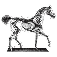 Horse Anatomy Vintage