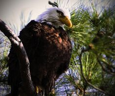 real-life-angrybirds-mighty-eagle