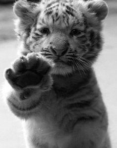 Sweet, little tiger