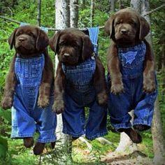 Labradors!