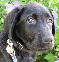 Pierre, male black Labrador puppy in training for Guide Dogs for the Blind.