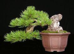 Pinus nigra austriaca / Austrian Pine