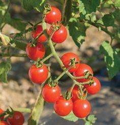 Jasper cherry tomato