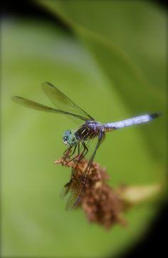 Dragonfly shot
