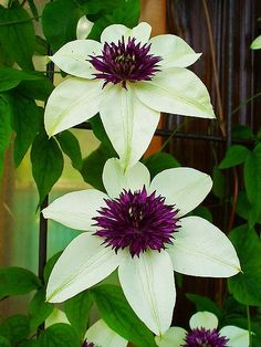"The Clematis Florida Sieboldii produces striking 3"" flowers with pure white outer petals and purple center with petal-like clusters. This clematis grows 6-10' tall and blooms in late summer. Full sun to part shade. Zones 7-11"