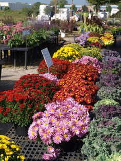 "So many colors to choose from! But don't expect these tender florist mums to perennialize in your garden. Check out ""Return of the Mums (Maybe)"" at http://www.spottsgardens.com/return-of-the-mums/"