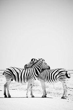 zebra hug