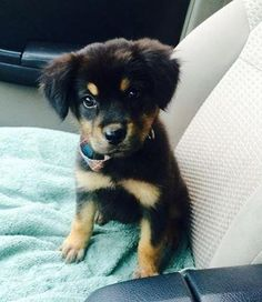 Petango.com – Meet Puff Puff Poofy Princess, a 2 months 3 days Rottweiler / Mix available for adoption in MISSION, KS