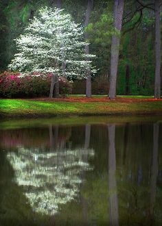 ✯ Flowering Dogwood