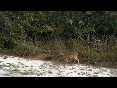 Big Pine Key - Blue Hole - Key Deer