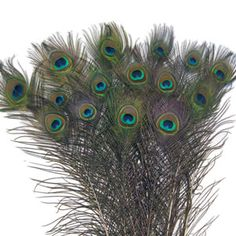 Large Eye Peacock Tails Natural Feathers 30-35""