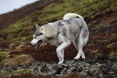 futur doggi, huski dog