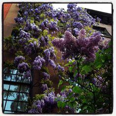 Beautiful purple lilacs, my favorite!!